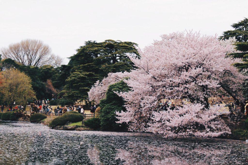 Shinjuku Gyoen Cherry Blossom 1